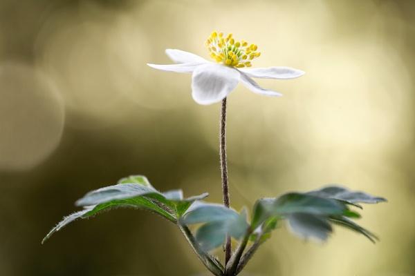 Woodland Anemone Nemorosa by MandyD