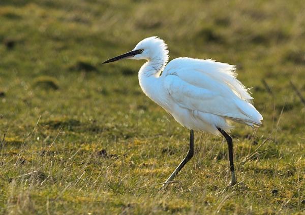 Little Egret by Growmore