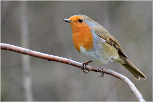 Robin by richmowil