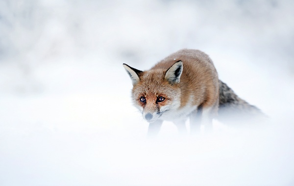 White out fox by Enmark