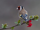 Goldfinch by cleg