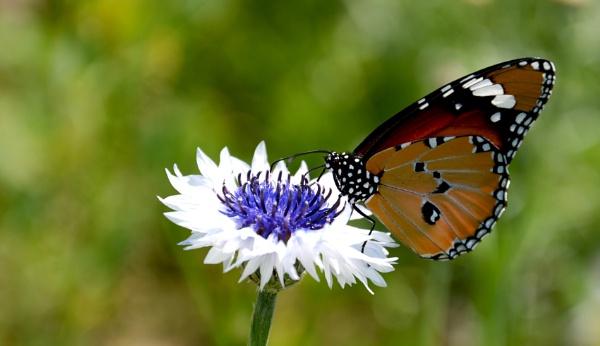 Beautiful Butterfly by desert_photographer