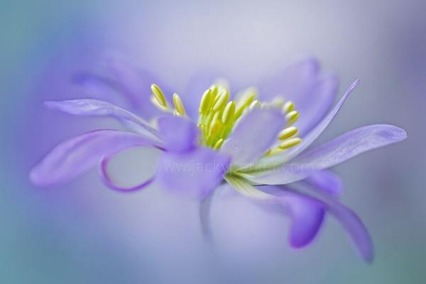Winter Windflower by jackyp