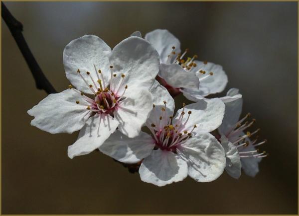 Springtime Blossom by DicksPics