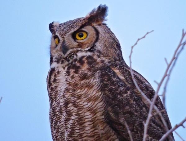 Great Horned Owl by StuartDavie