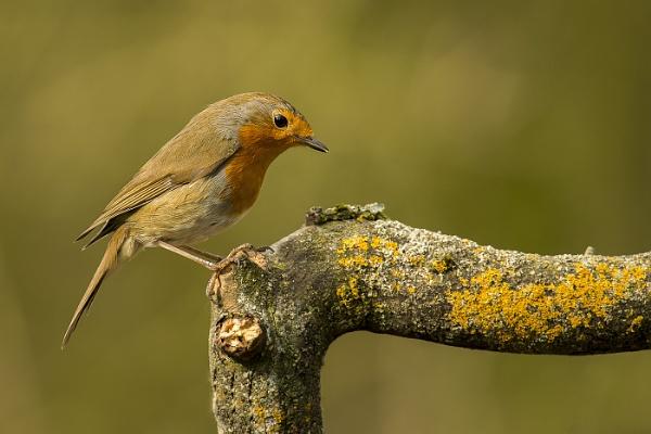 Robin by Fotofunguy