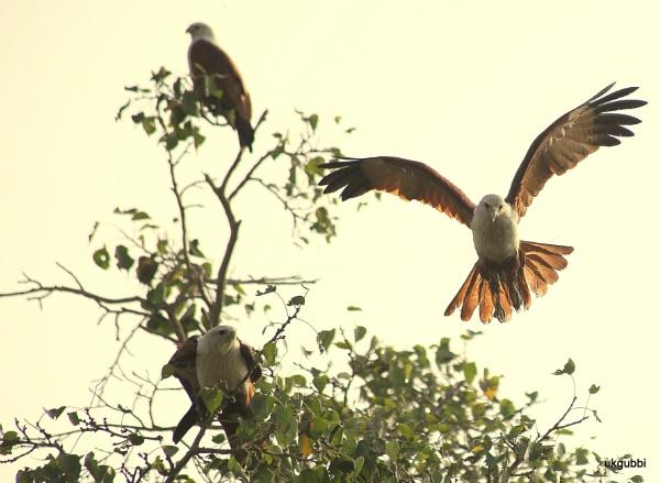 Brahminy kite by ukgubbi