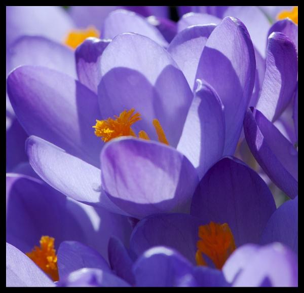 Petals by foxdownspringflower