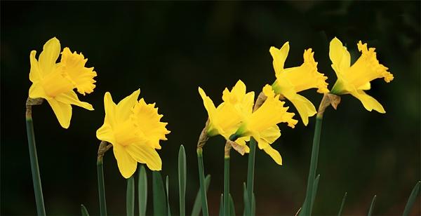 Daffodils by suejoh