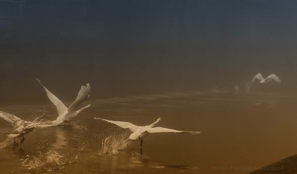 Swans. by martfaulkner