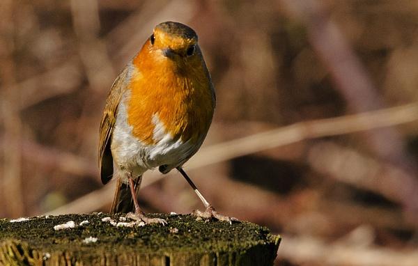 Robin Redbreast by Fogey