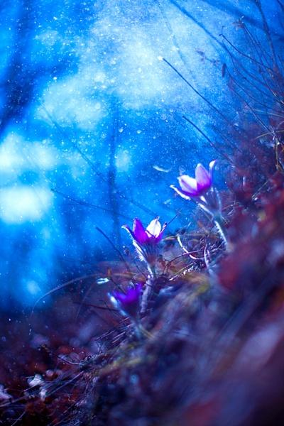 Poniklec by pollini