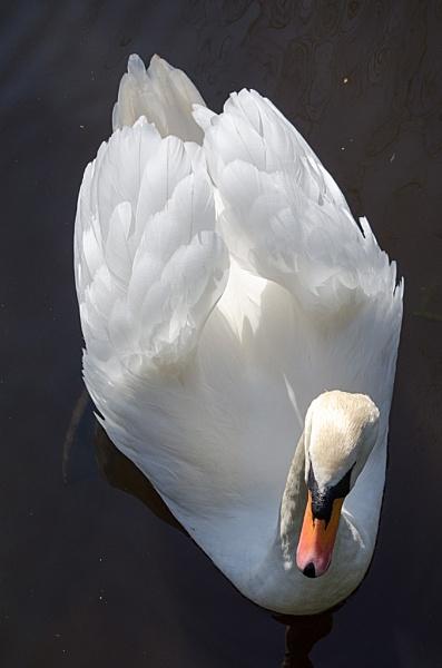 Swan by JHFoto5