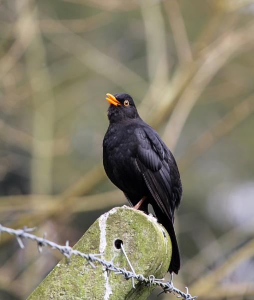 blackbird by tarkalove