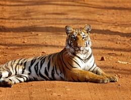 Sub Adult Tiger