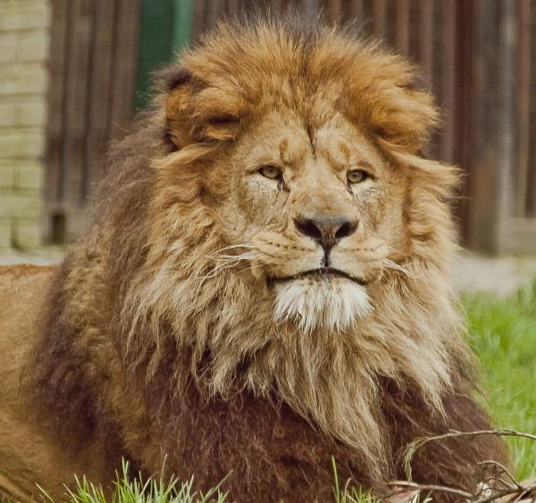 King Lion by chensuriashi