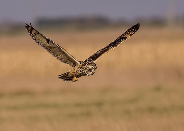 Short Eared Owl by fatmod