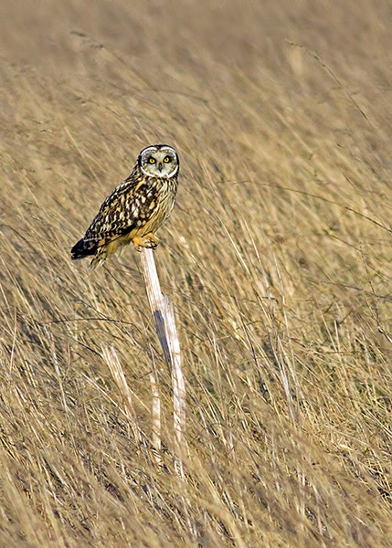 Perched Short Eared Owl by fatmod