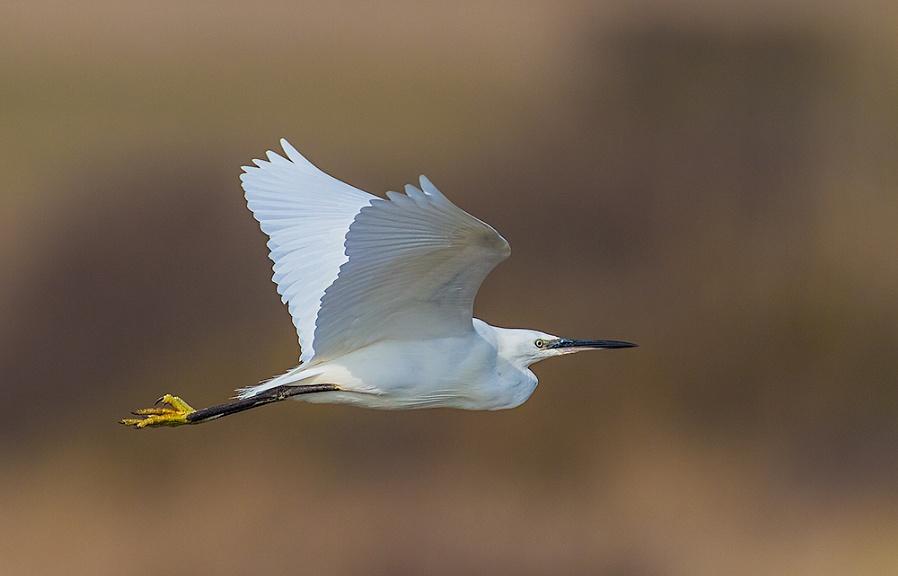 Little Egret in Flight.