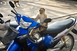 Monkey on a Moped