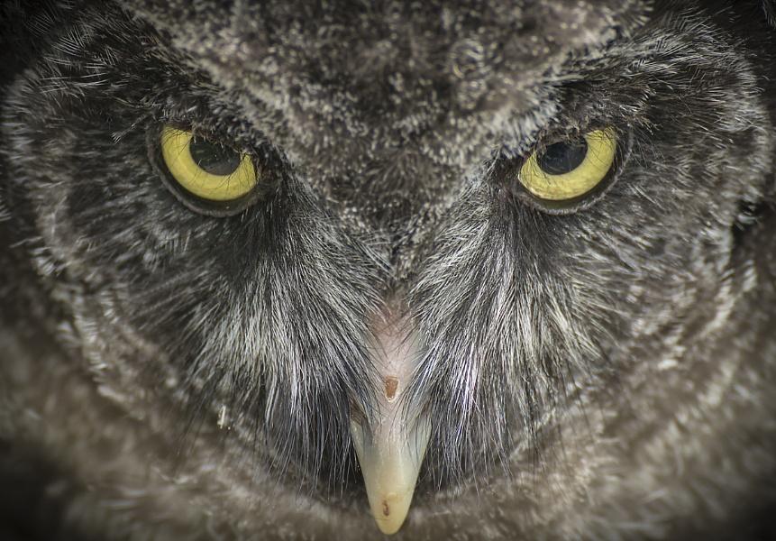 Juvenile Great Grey Owl Close-up