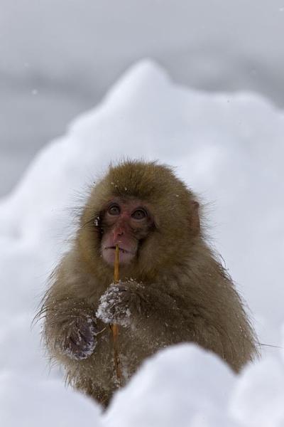 Baby Snow monkey by hibbz