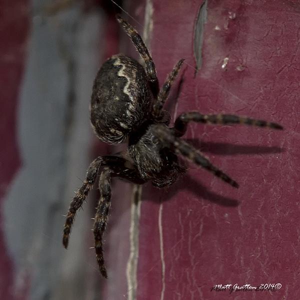 Walnut orb-weaver spider, Nuctenea umbratica by mohikan22