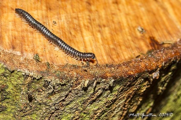 white legged snake millipede by mohikan22
