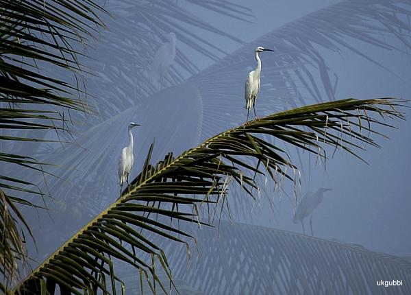 Egrets by ukgubbi