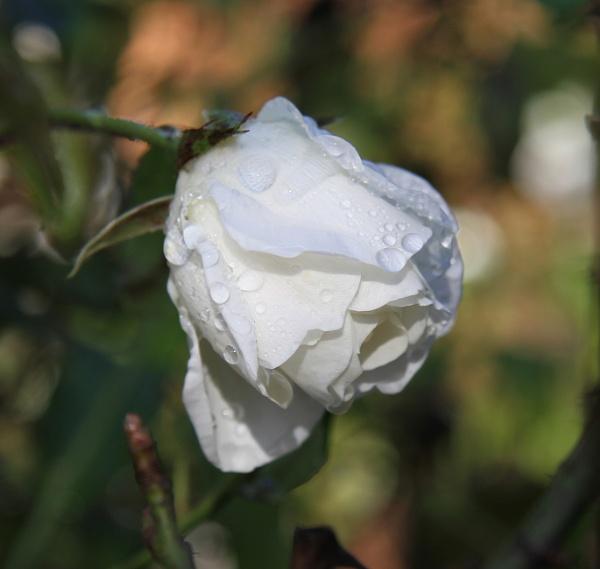 Snow Whites Rose by photopix12