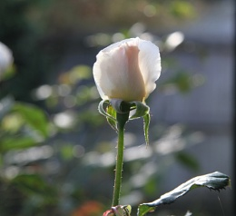 Beauitful Rose