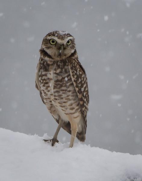 Burrowing Owl by glimpsesborrowed