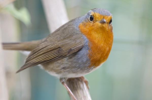 Robin by alcontu