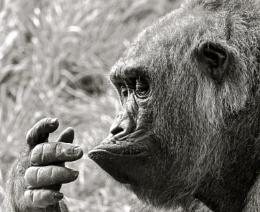 Curious Chimp