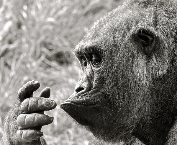 Curious Chimp by NathalieM