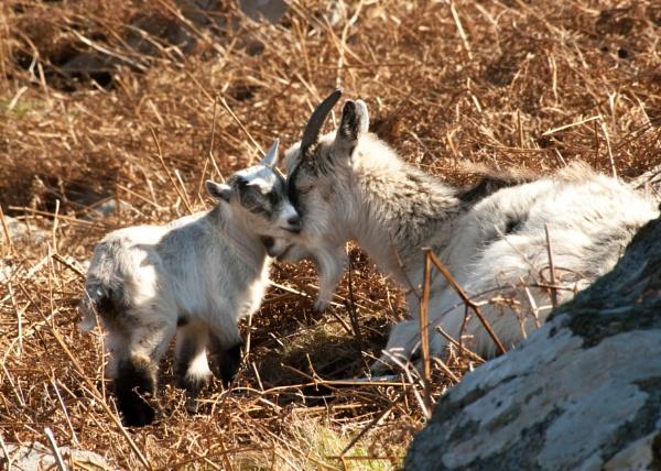 Exmoor Goats by ambro