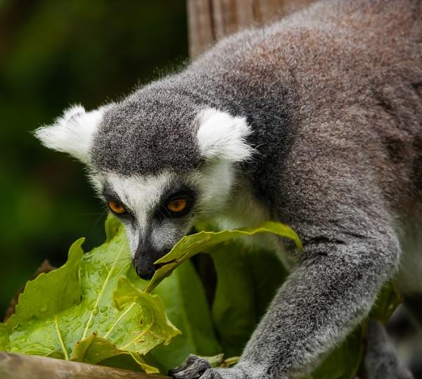 Ring Tailed Lemur by JJGEE