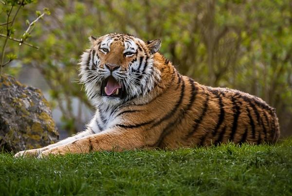 Amur Tiger by JJGEE