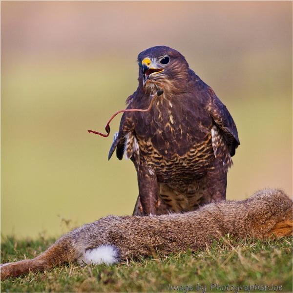 Common Buzzard with Kill by photographerjoe