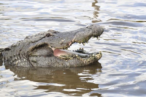 Alligator by Kruger01