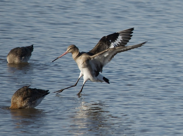 Black Tailed Godwit coming in to land by PaulLiley