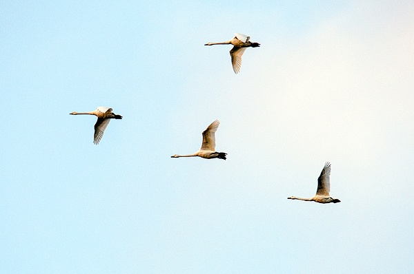 Whooper Swans by icphoto