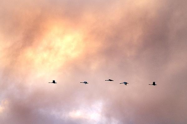 Whooper swans.