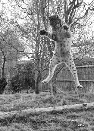 Kung foo Lynx