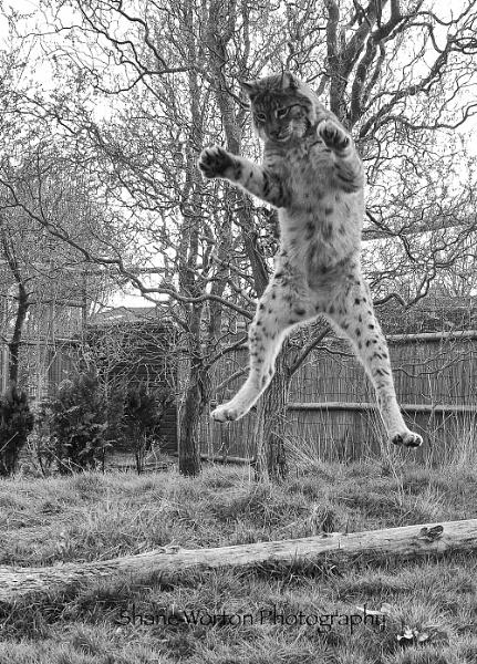 Kung foo Lynx by Shane136