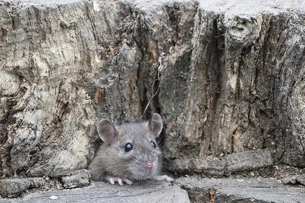 Ratty by FrankMA
