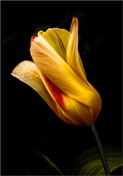 Tulip by MariaElaine