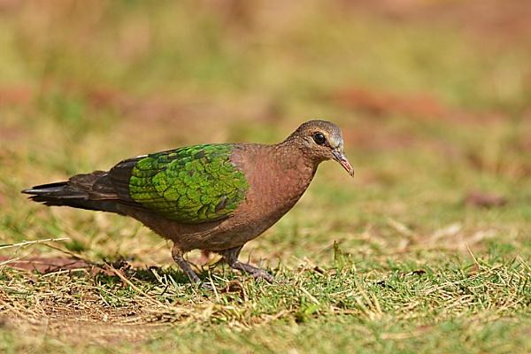Emerald Dove by arindomb