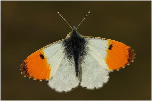 Orange Tip by BenKiteley