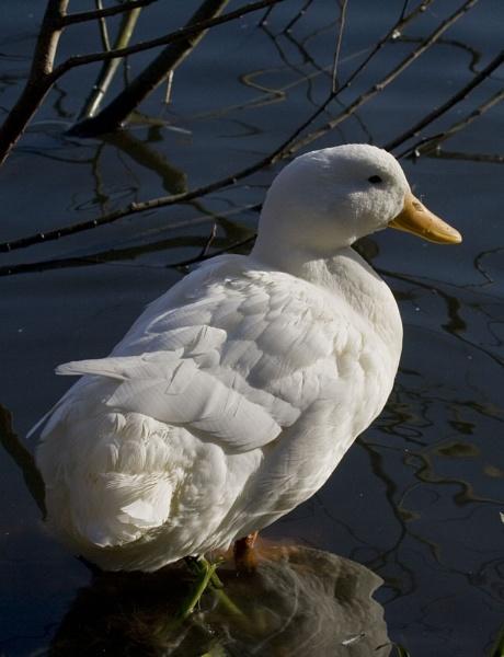 White Duck by kentbirder